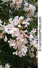 Oleander bush with beautiful flowers - Closeup of Oleander...