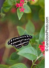 Gracian shoemaker butterfly - Female gracian shoemaker...