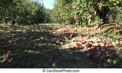 Abandoned orchard tree alley and windfall fruits lie on...