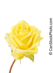 Yellow rose flower covered with rain drops