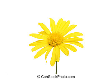 Golden daisy flower isolated on white