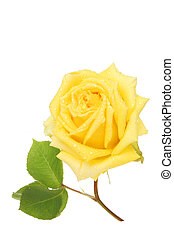 Yellow rose covered in rain droplets
