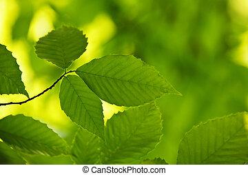 Green spring leaves - Green spring elm leaves in clean...