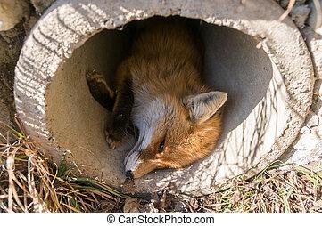 結冰, 狐狸, 年輕