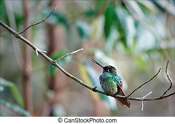 Hummingbird - The hummingbird sits on a branch against...