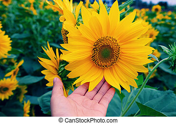 Woman hand take photo at sunflower field - Woman hand with...