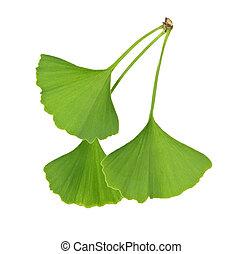 Ginkgo Biloba leaves - Three green ginkgo biloba leaves...