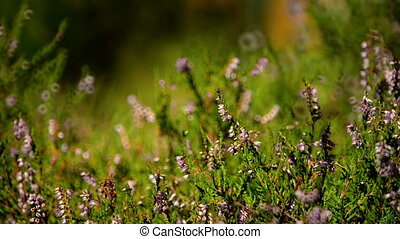 Closeup of heather shrub fluttering on breeze
