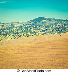 Sloping Hills - Olive Groves and Plowed Sloping Hills of...