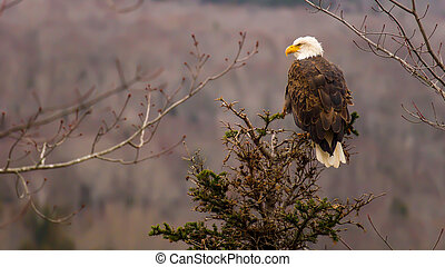 Bald eagle - A bald eagle