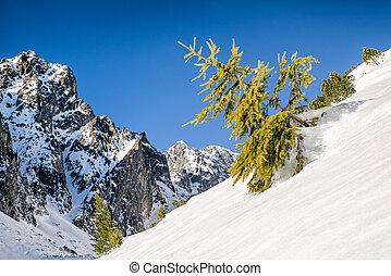 Creeping pine in mountains - Creeping pine in High Tatras...