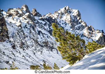 Creeping pine in mountains - Creeping pine in High Tatras...
