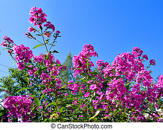 flowerses phloxes on background blue sky