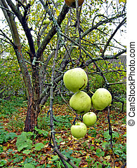 apple on branch of the apple trees