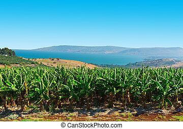 Banana Plantation on the Golan Heights