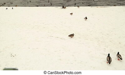 Various duck on river in winter - Many ducks and birds swim...