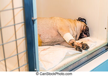 Convalescent dog in veterinary clinic gets treatnment and...