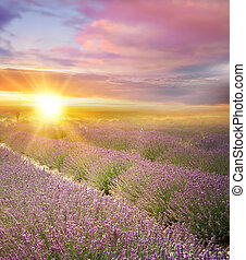 Sunset over a summer lavender field. - Sunset over a summer...