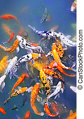 Koi fish in pond - Colorful koi fish at surface of pond