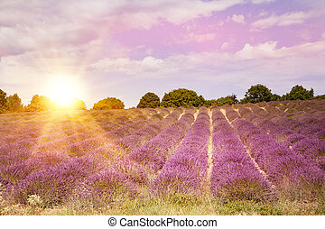 Lavender bushes on sunset. Sunset gleam over purple flowers...