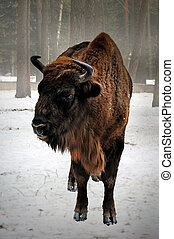 European bison in winter - portrait of European bison in...
