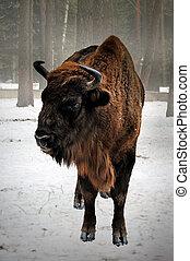 European bison in winter - portrait of European bison in...