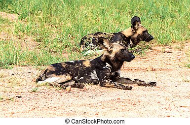African wild dogs(Lycaon pictus) lying in the Kruger...