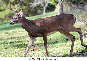 A young male white tail deer walks - A young buck walks out...