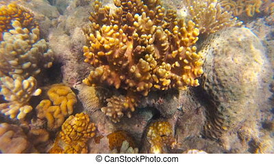 Australian Great Barrier Reef corals and fish. Underwater...