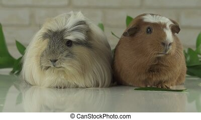 Two guinea pigs talk as announcers on television humor - Two...