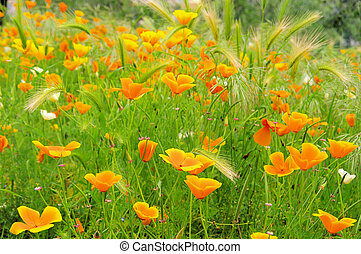 California poppy 28