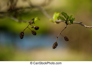 fruta, árbol, aliso