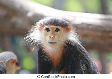 macaque of Asia. - macaque of Asia,concept of endangered...