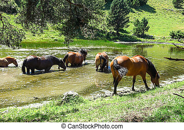 Wild horses in Aran valley in the Catalan Pyrenees, Spain. -...