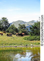 Wild horses in Aran valley in the Catalan Pyrenees, Spain....