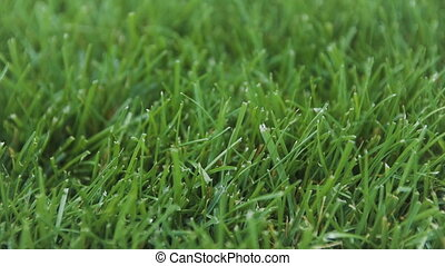 Close Up Of Fresh Thick Grass. Turf Production