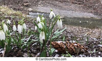 Snowdrop in springtime under falling snow. Slow motion.