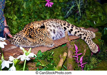 Leopard sleepig in jungle - Leopard sleeping in jungle close...