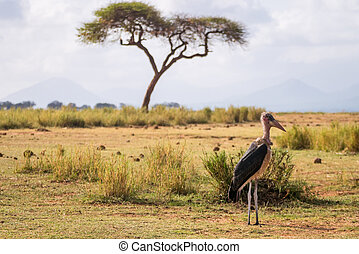 Very big birds called marabous - Marabous and acacia, Tsavo...