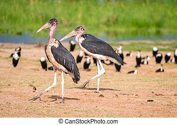 Very big birds called marabous - Marabous over Jipe Lake ,...