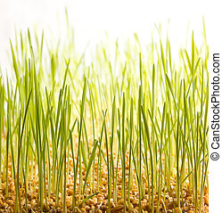 young green wheat grass
