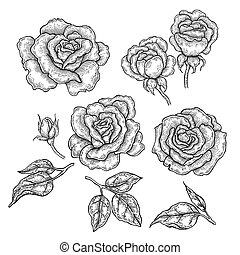 Hand drawn rose flowers and leaves isolated on white background. Vector illustration in engraved style