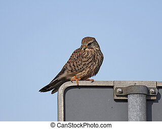 Common kestrel (Falco tinnunculus) - Common kestrel resting...