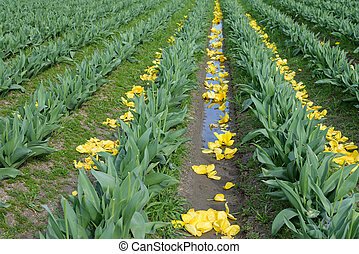 Beautiful tulips fields - Field of yellow tulips with the...