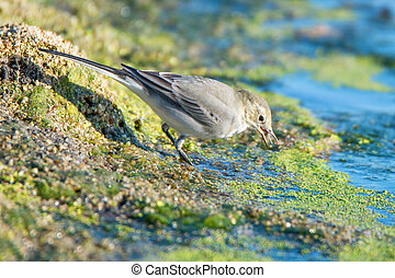 Young white wagtail - Close-up photography of young...