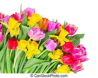 bouquet of tulips and daffodils - Blooming pink, purple and...