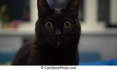 Dark cat staring with wide opened eyes and not blinking.