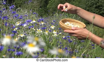 hand reap camomile in basket at summer. Healthy lifestyle. -...