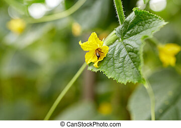 bee pollinating cucumber plant flower at garden - insect,...