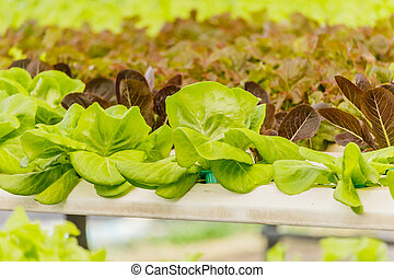 Organic hydroponic vegetables Vertical garden